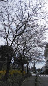 東京都 日の出町 桜